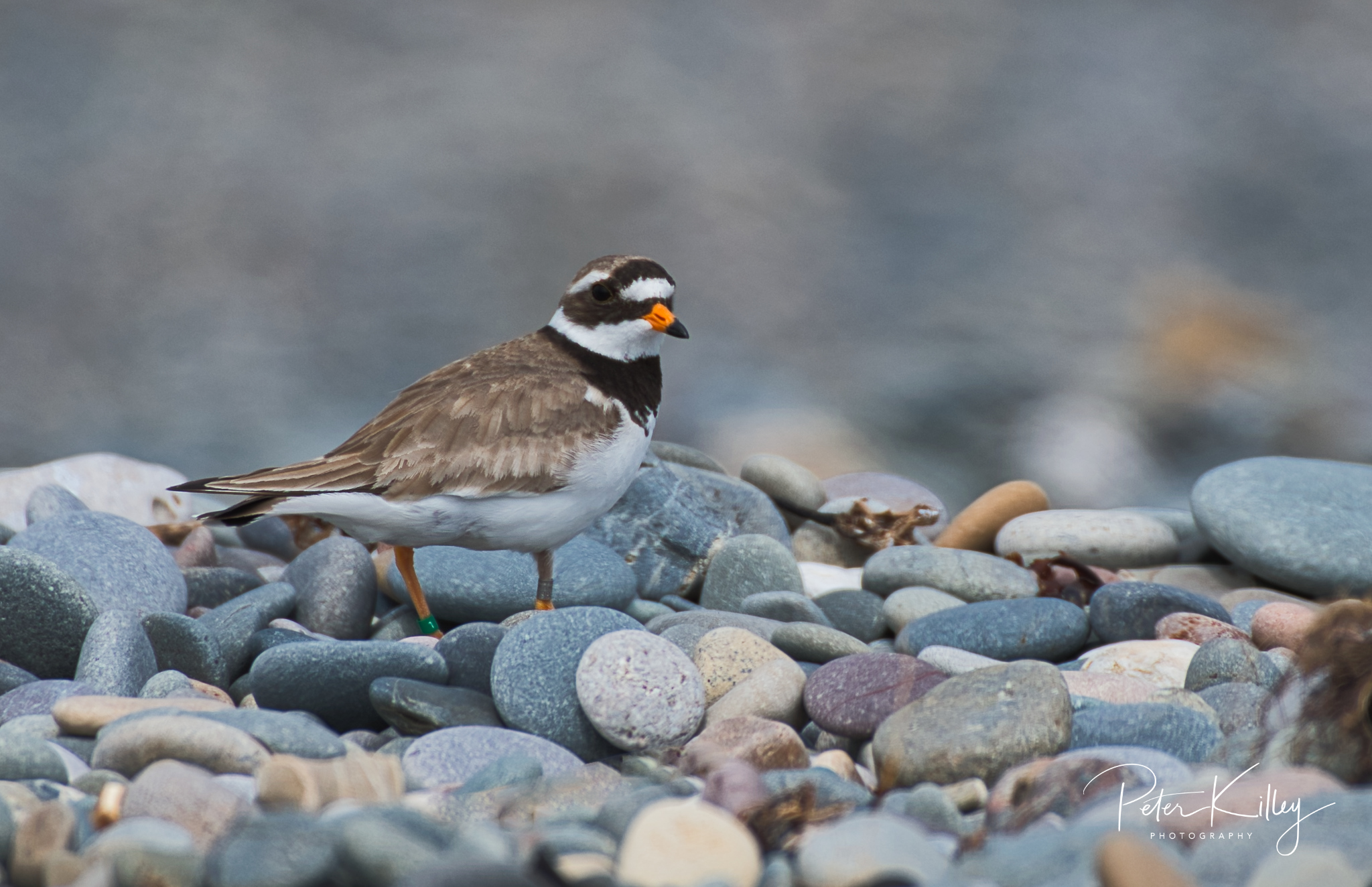 Ring Plover