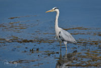 Heron at Kallow Point - © Peter Killey - www.manxscenes.com