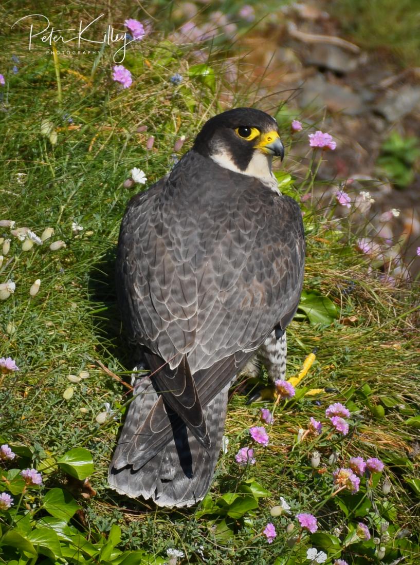 Peregrine Falcon - © Peter Killey - www.manxscenes.com