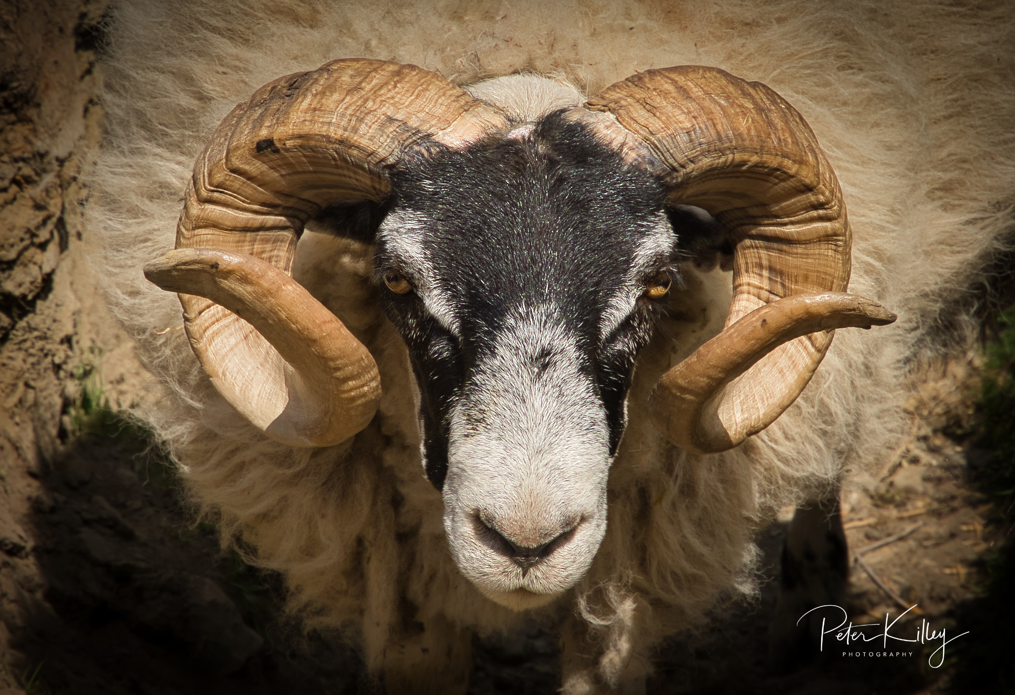 Druidale Ram - Isle of Man -  © Peter Killey - www.manxscenes.com