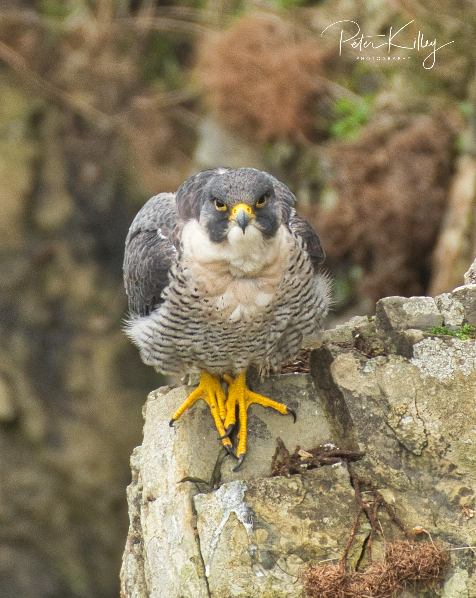 Peregrine, Isle of Man - © Peter Killey - www.manxscenes.com