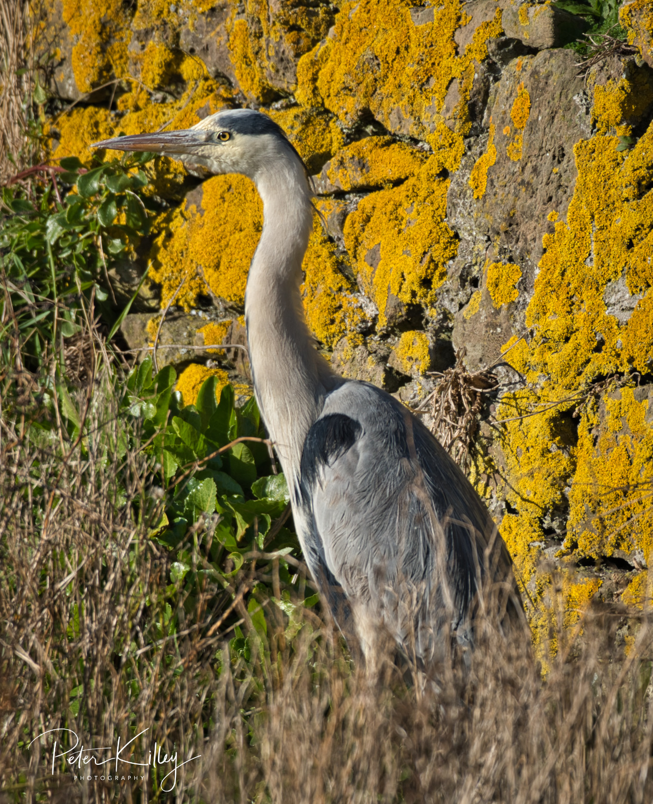 Heron Langness - © Peter Killey - www.manxscenes.com