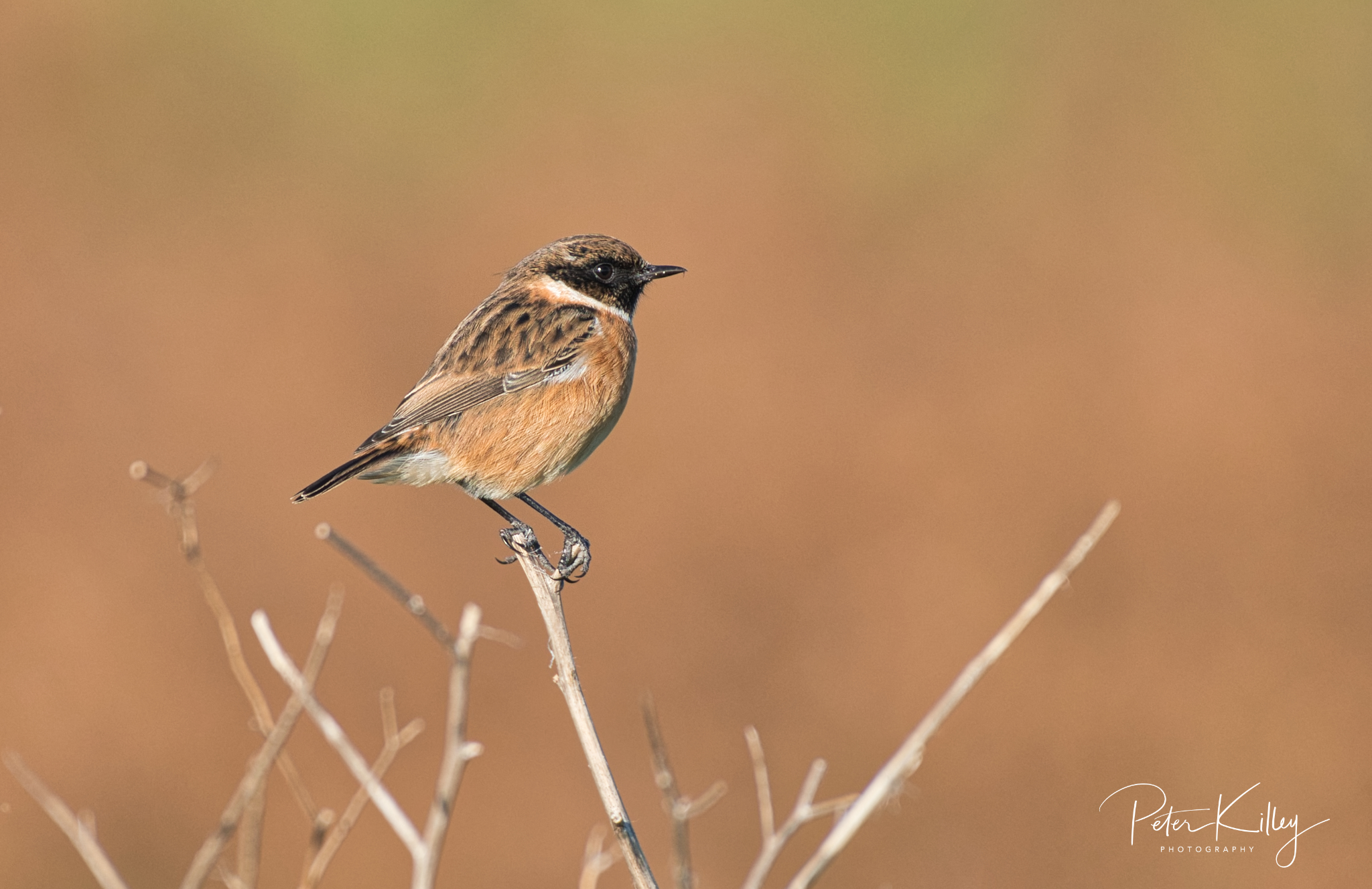 Stonechat at Langness - © Peter Killey - www.manxscenes.com