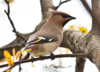 A Waxwing - © Peter Killey - www.manxscenes.com