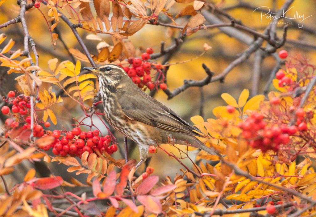 Redwing - © Peter Killey - www.manxscenes.com