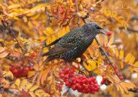 Starling - © Peter Killey - www.manxscenes.com