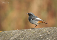 Black Redstart - © Peter Killey - www.manxscenes.com