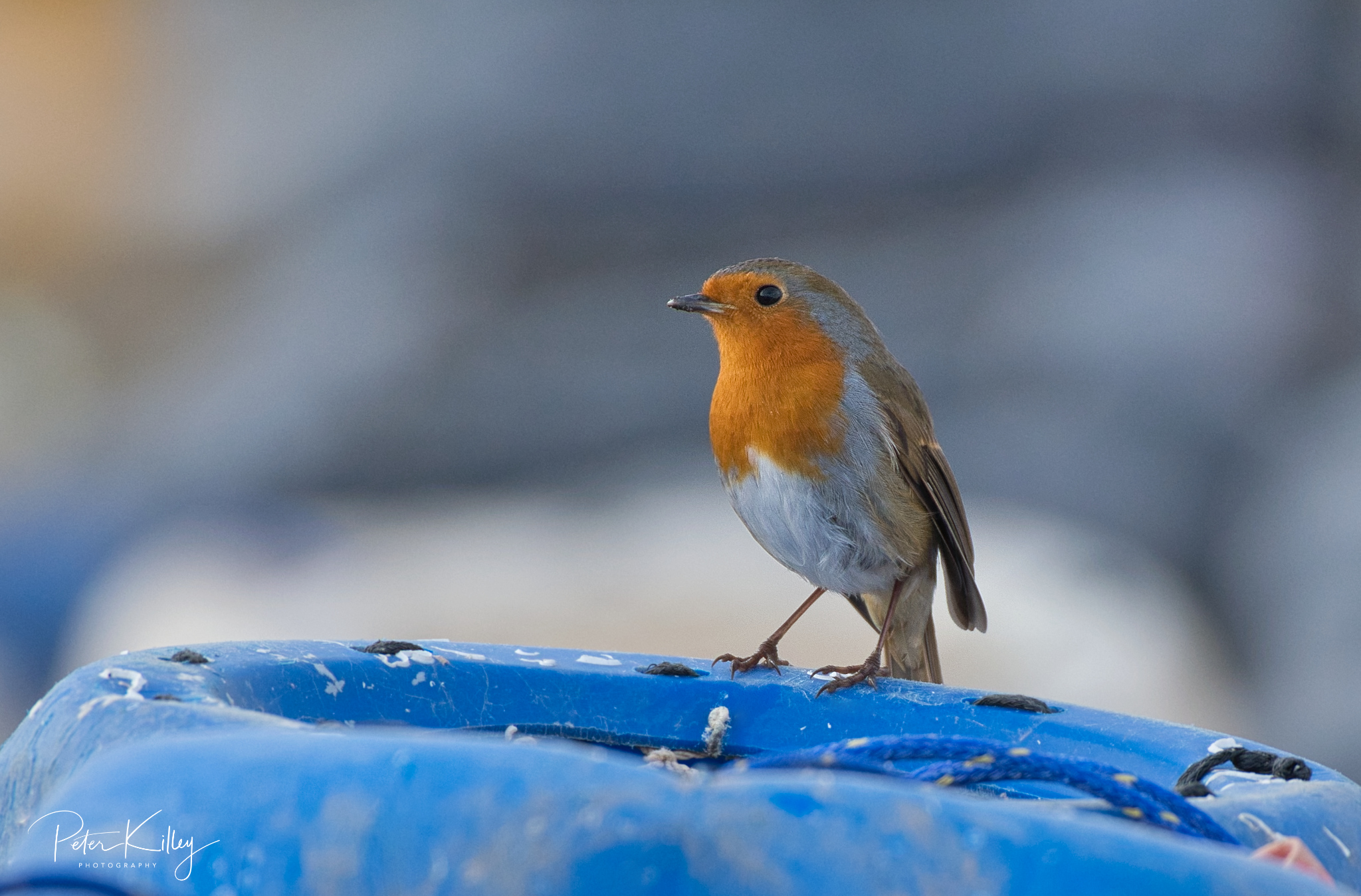 Festive Robin - © Peter Killey - www.manxscenes.com