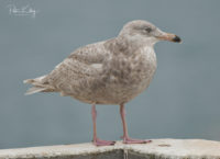 Glaucous Gull - © Peter Killey - www.manxscenes.com