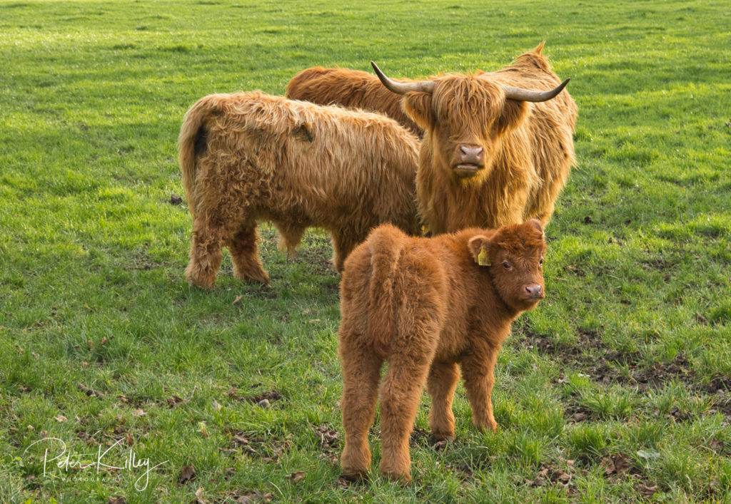 Highland Cattle - Ballafesson - © Peter Killey - www.manxscenes.com