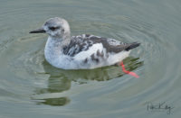 Black Guillemot - Peel
