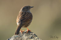 Dunnock - Isle of Man