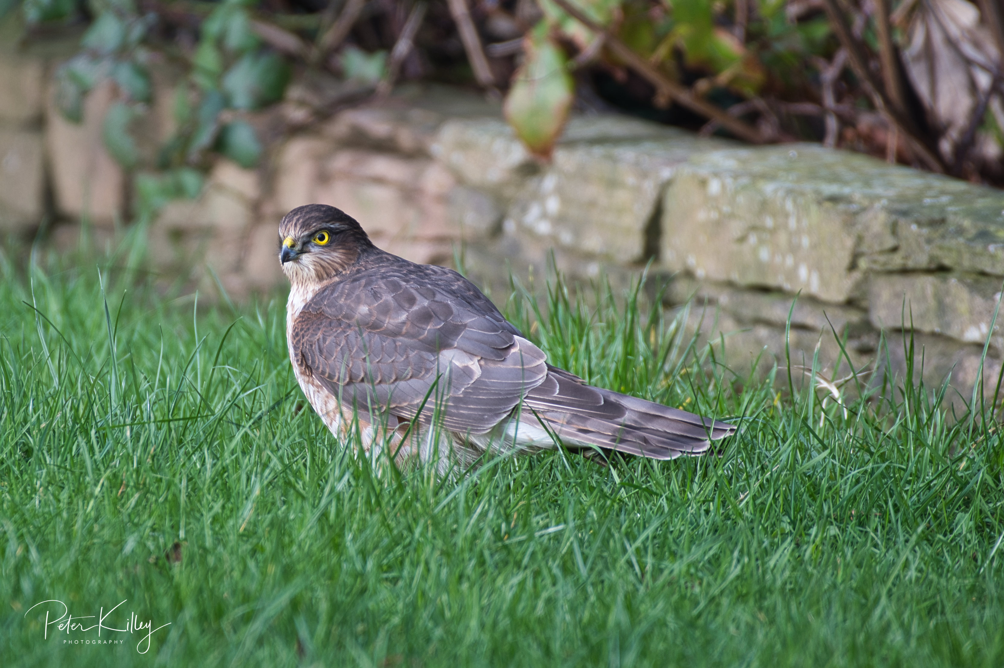 Female Sparrowhawk - Ballaugh 09/02/19