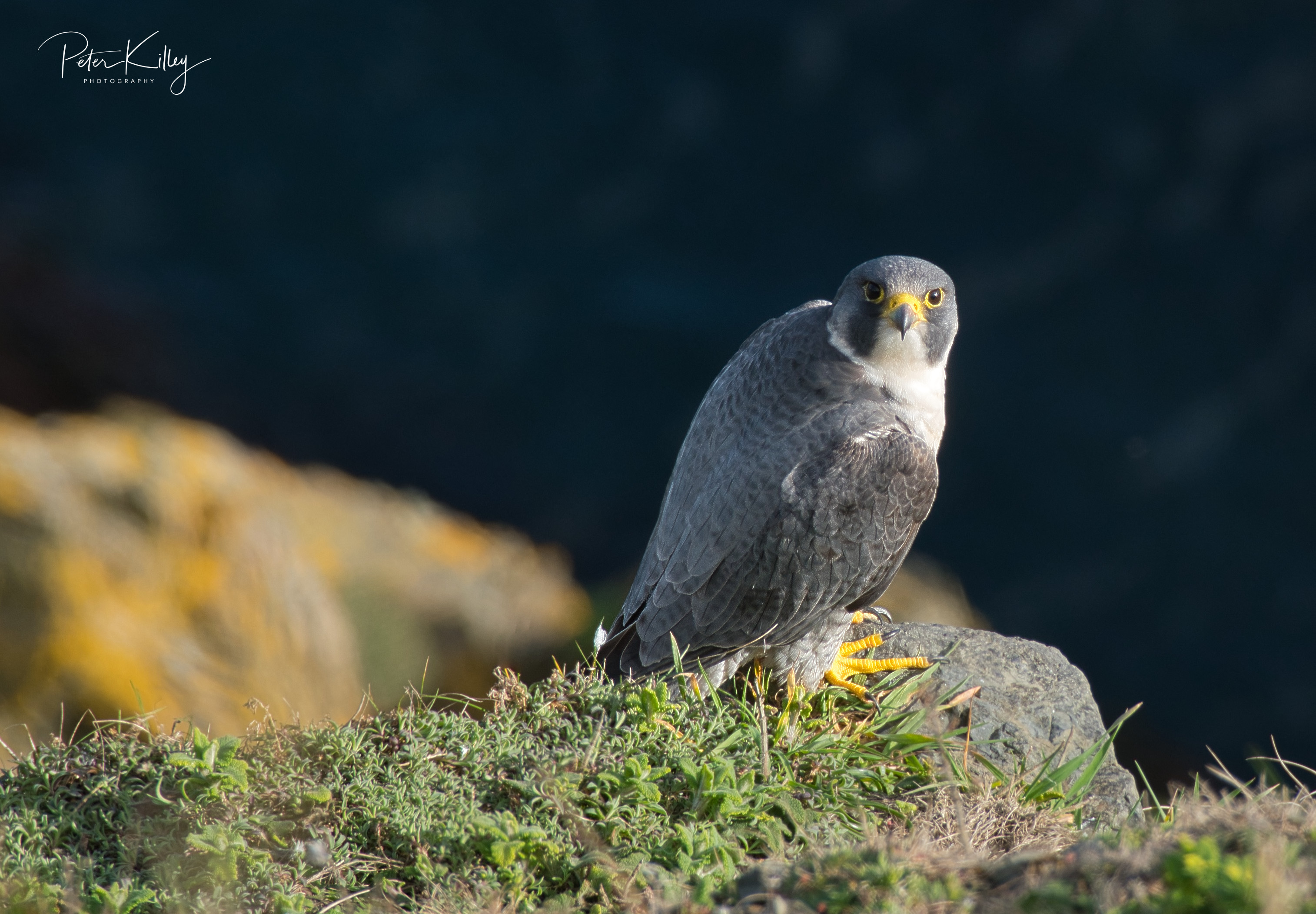 Male Peregrine Falcon - © Peter Killey - www.manxscenes.com