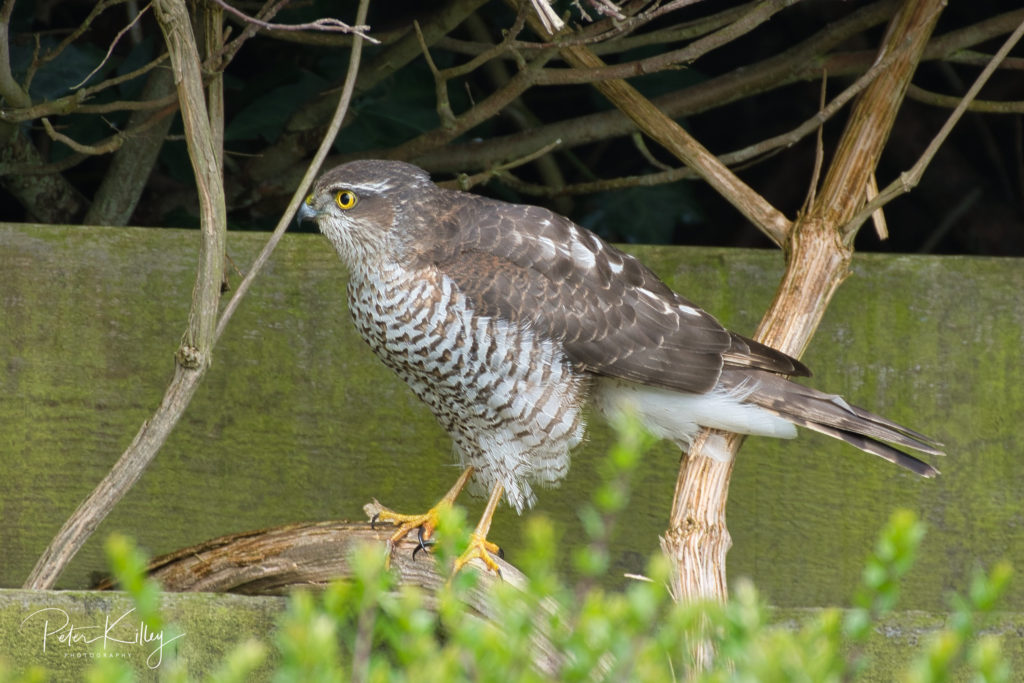 Female Sparrowhawk 2 April 19