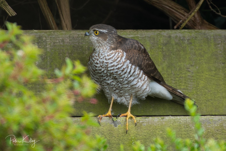 Female Sparrowhawk 2 April 19
