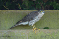 Sparrowhawk - © Peter Killey - www.manxscenes.com