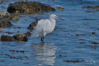 Little Egret - Derbyhaven