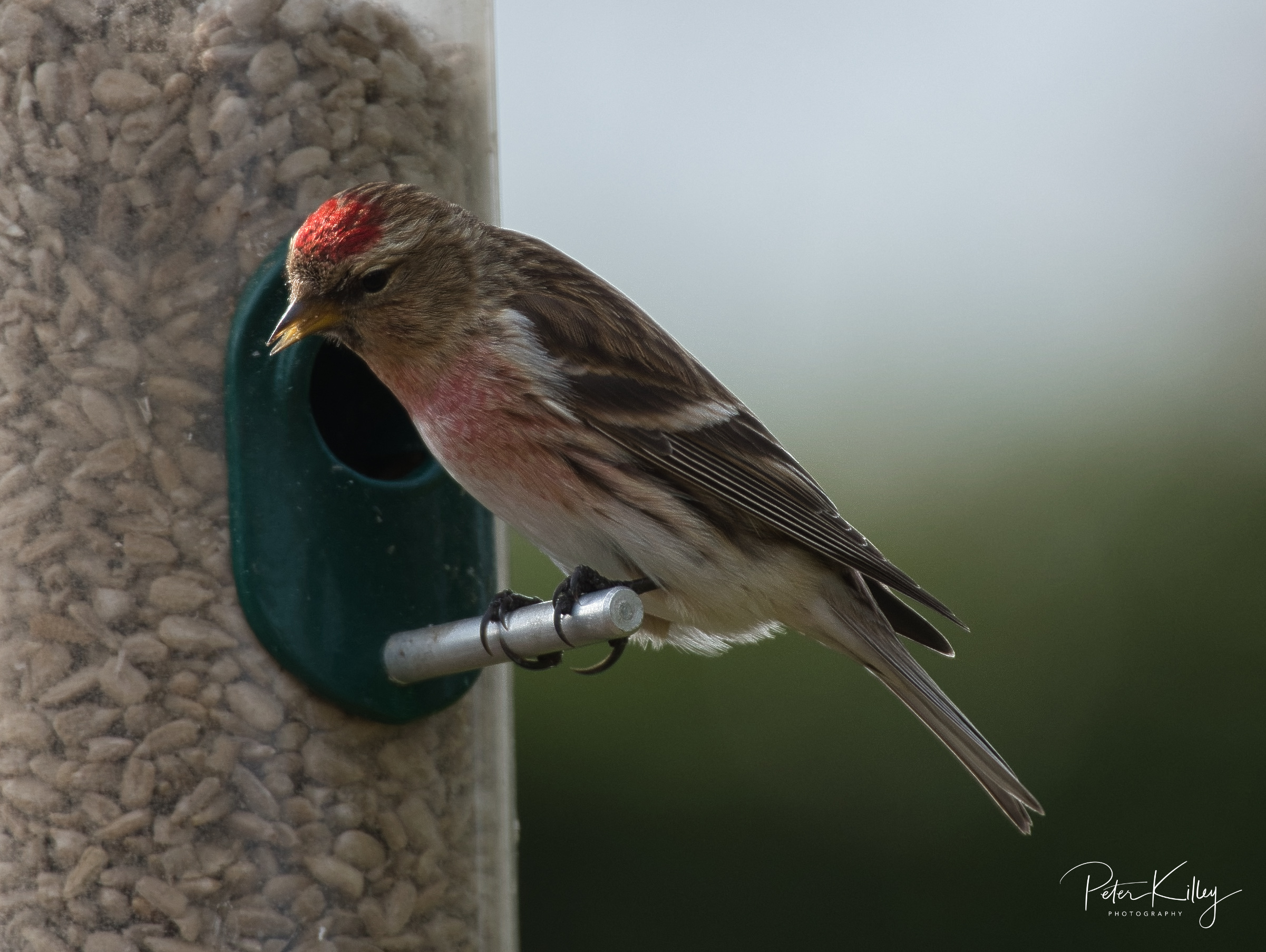 Lesser Redpoll - © Peter Killey - www.manxscenes.com