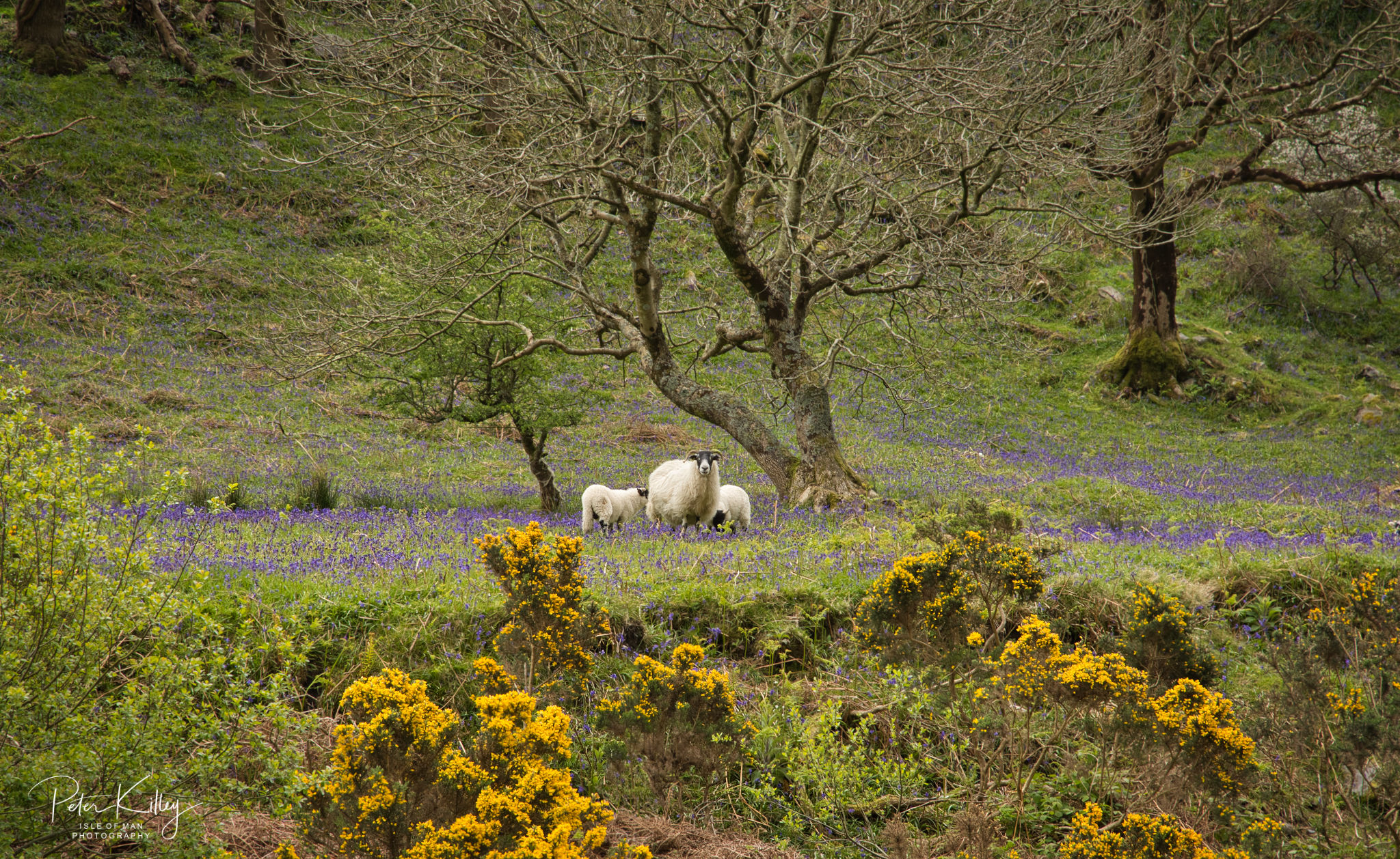 Bluebells Sulby Glen - © Peter Killey - www.manxscenes.com