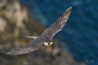 Peregrine Falcon - © Peter Killey - www.manxscenes.com