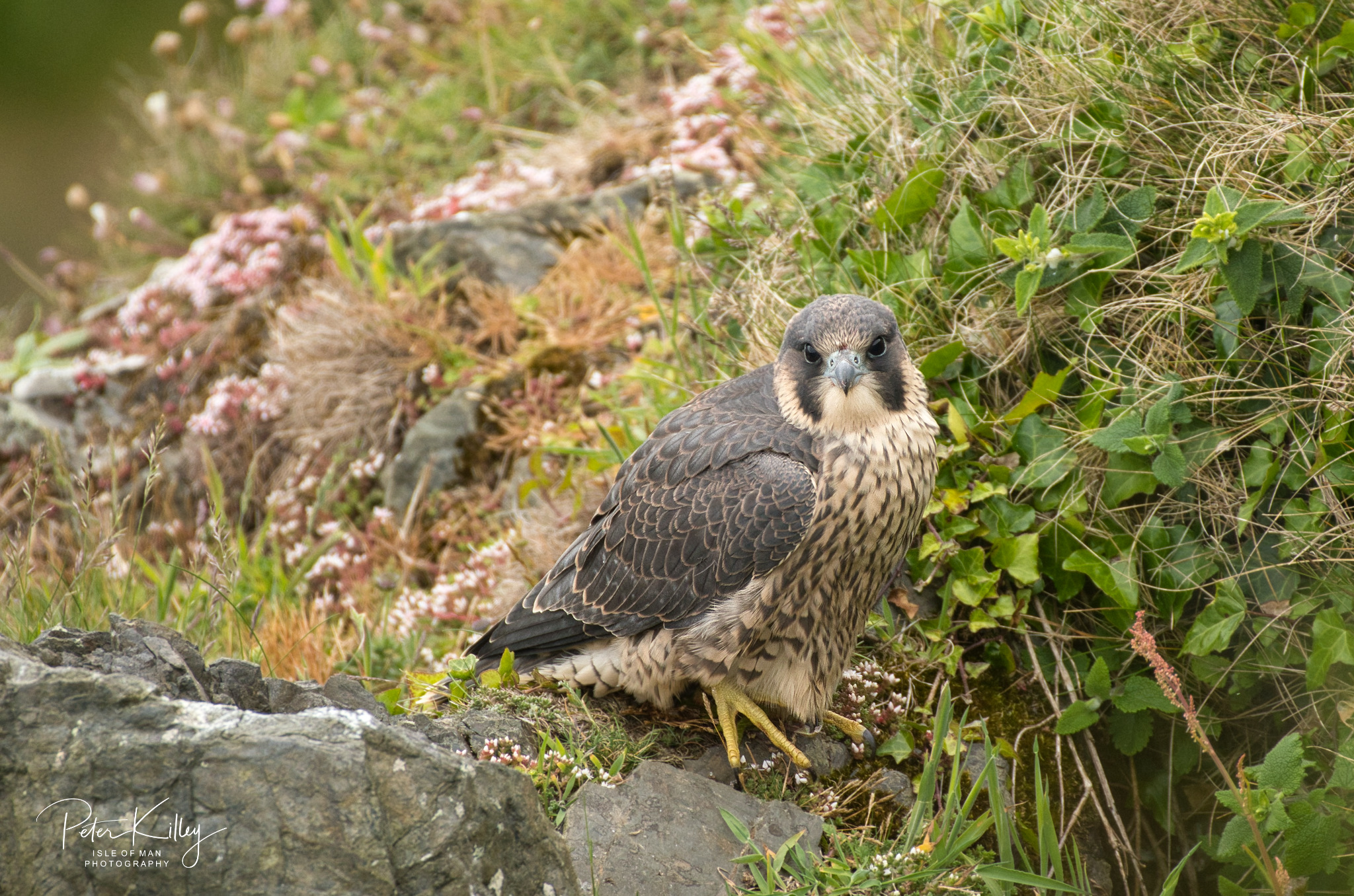 Juvenile Peregrine Falcon - © Peter Killey - www.manxscenes.com