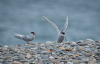 Artic Terns POA June 2019 - © Peter Killey - www.manxscenes.com