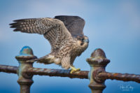 Juvenile Peregrine - © Peter Killey - www.manxscenes.com