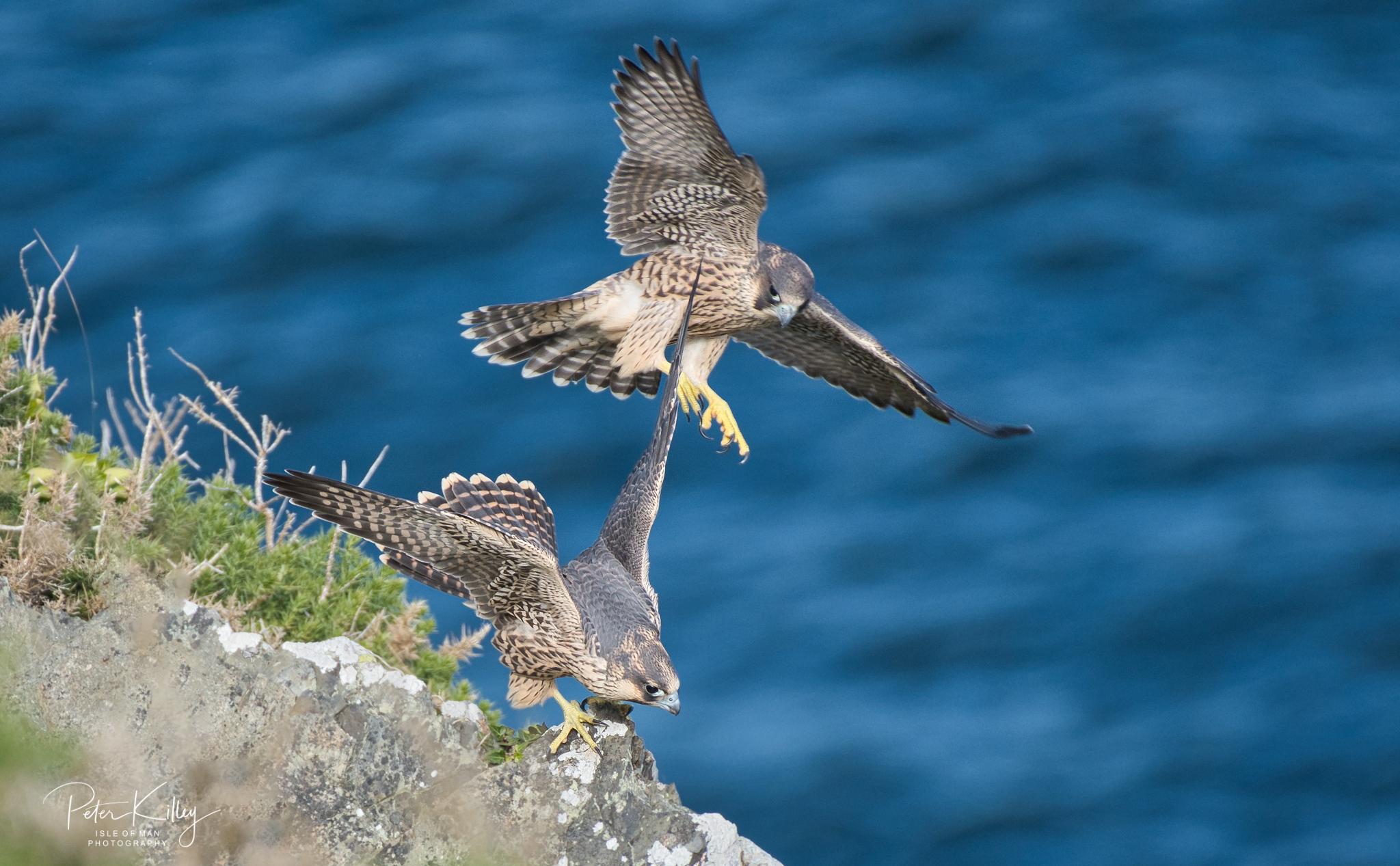 Juvenile Peregrine Falcons Isle of Man - © Peter Killey - www.manxscenes.com