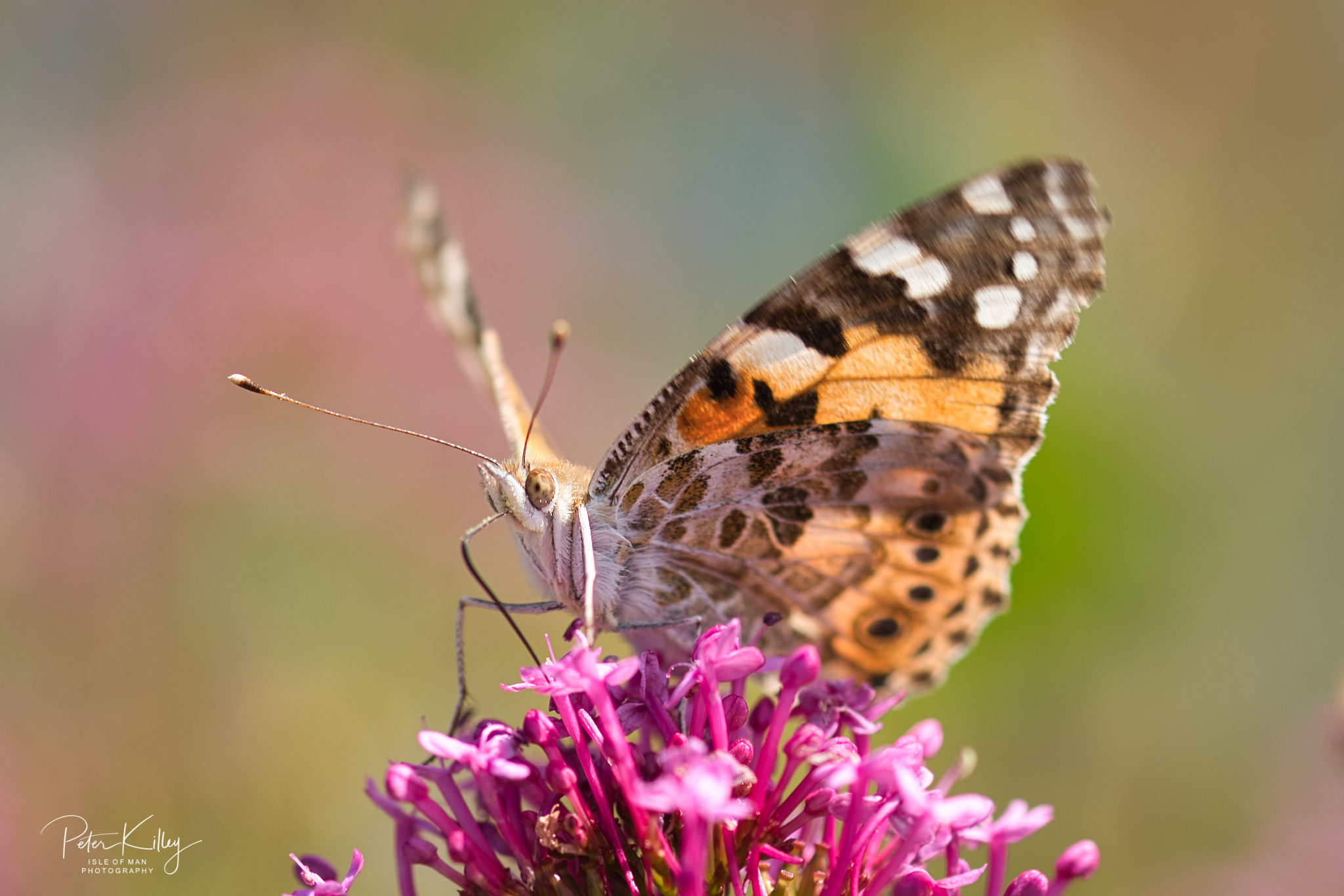 Painted Lady Butterfly - © Peter Killey - www.manxscenes.com