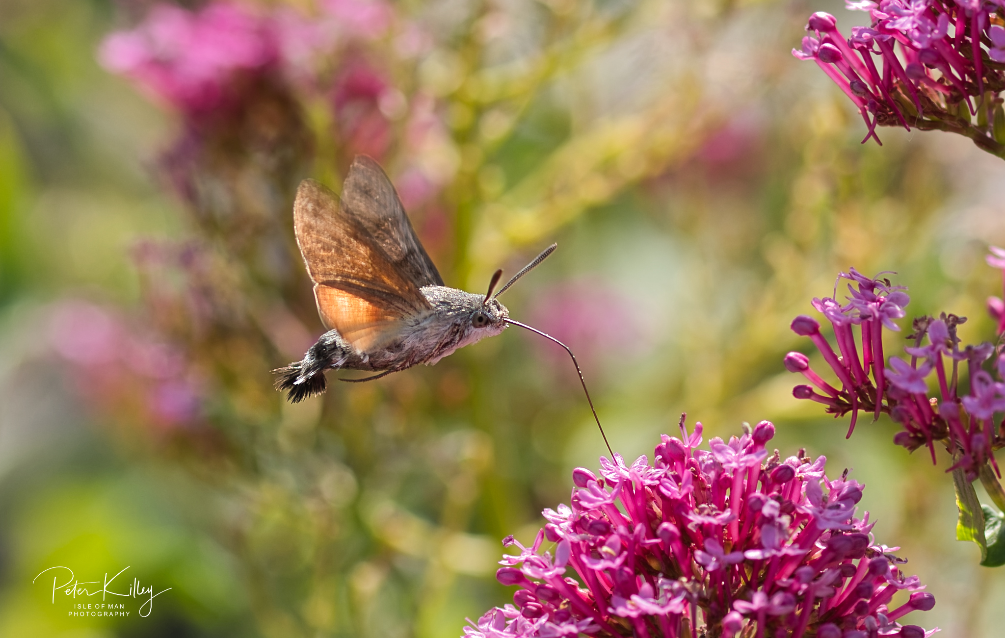 Hummingbird moth - © Peter Killey - www.manxscenes.com
