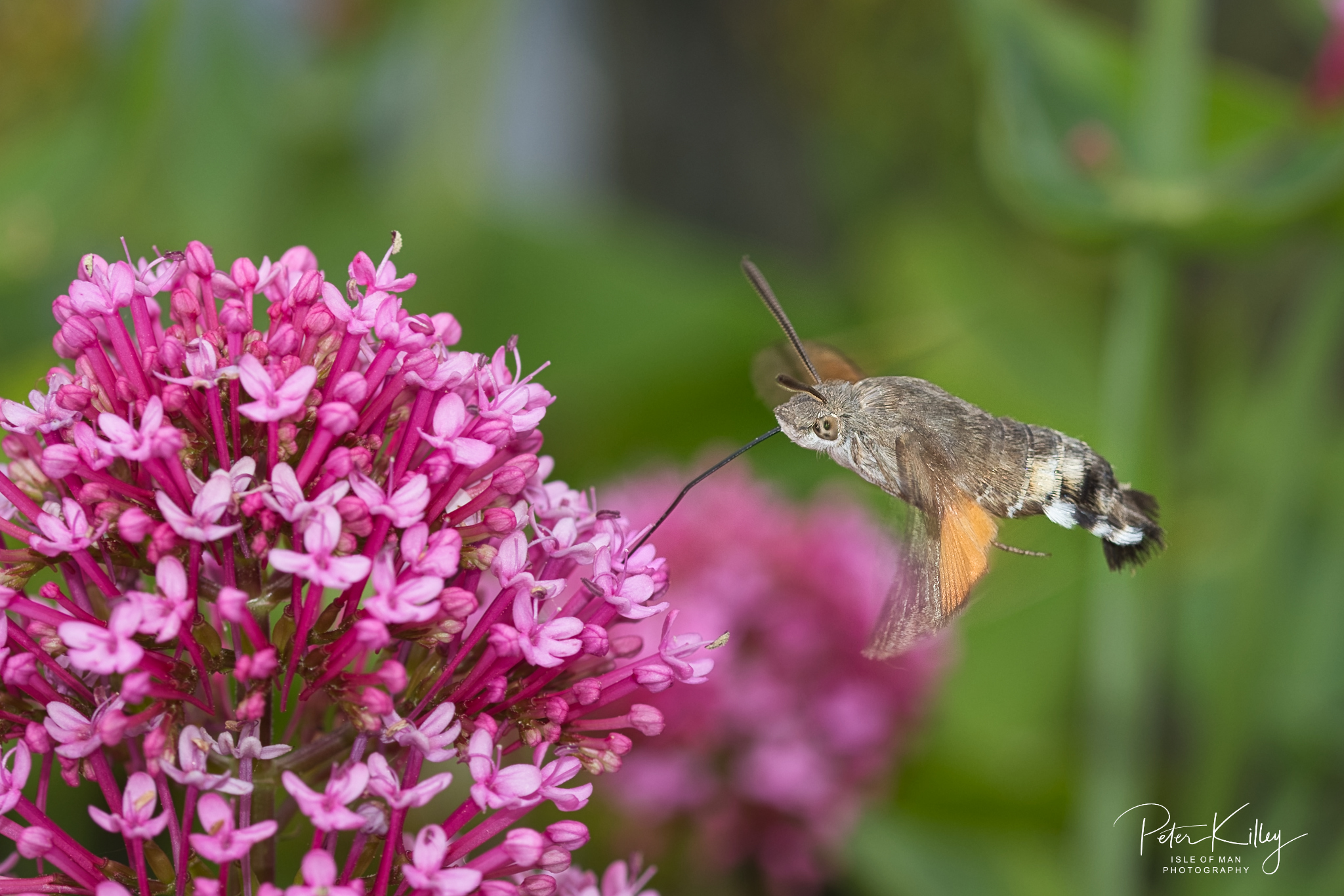 Hummingbird Moth feeding - © Peter Killey - www.manxscenes.com