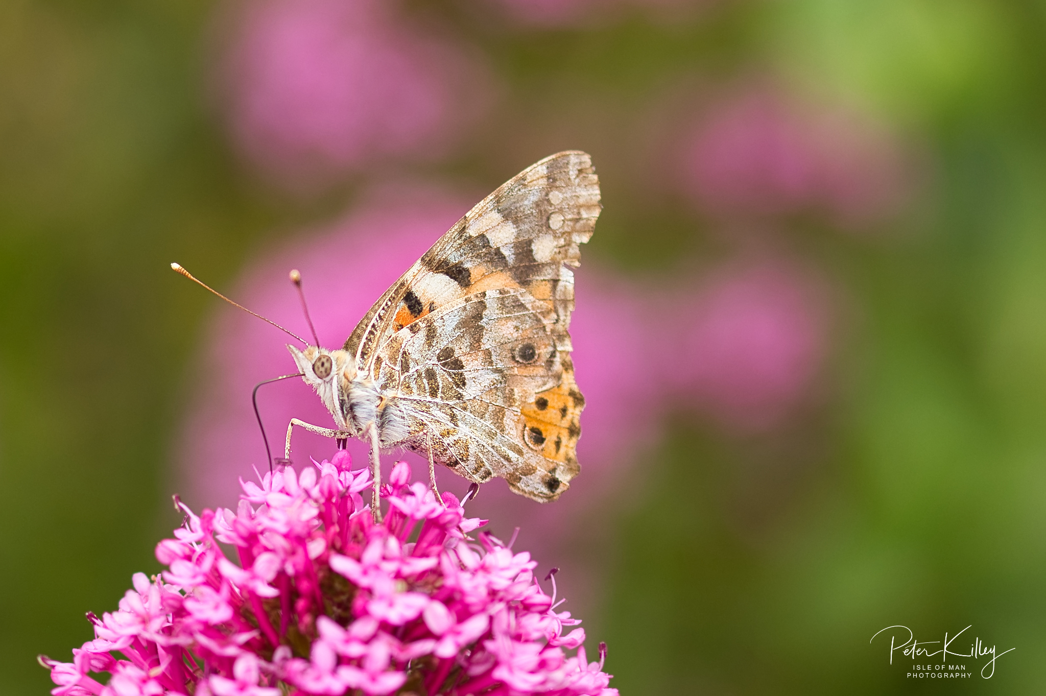 Painted Lady feeding - © Peter Killey - www.manxscenes.com