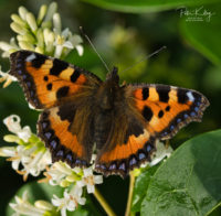 Small Tortoiseshell - © Peter Killey - www.manxscenes.com
