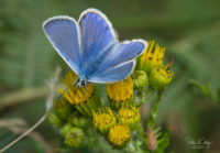 Common Blue Butterfly - © Peter Killey - www.manxscenes.com