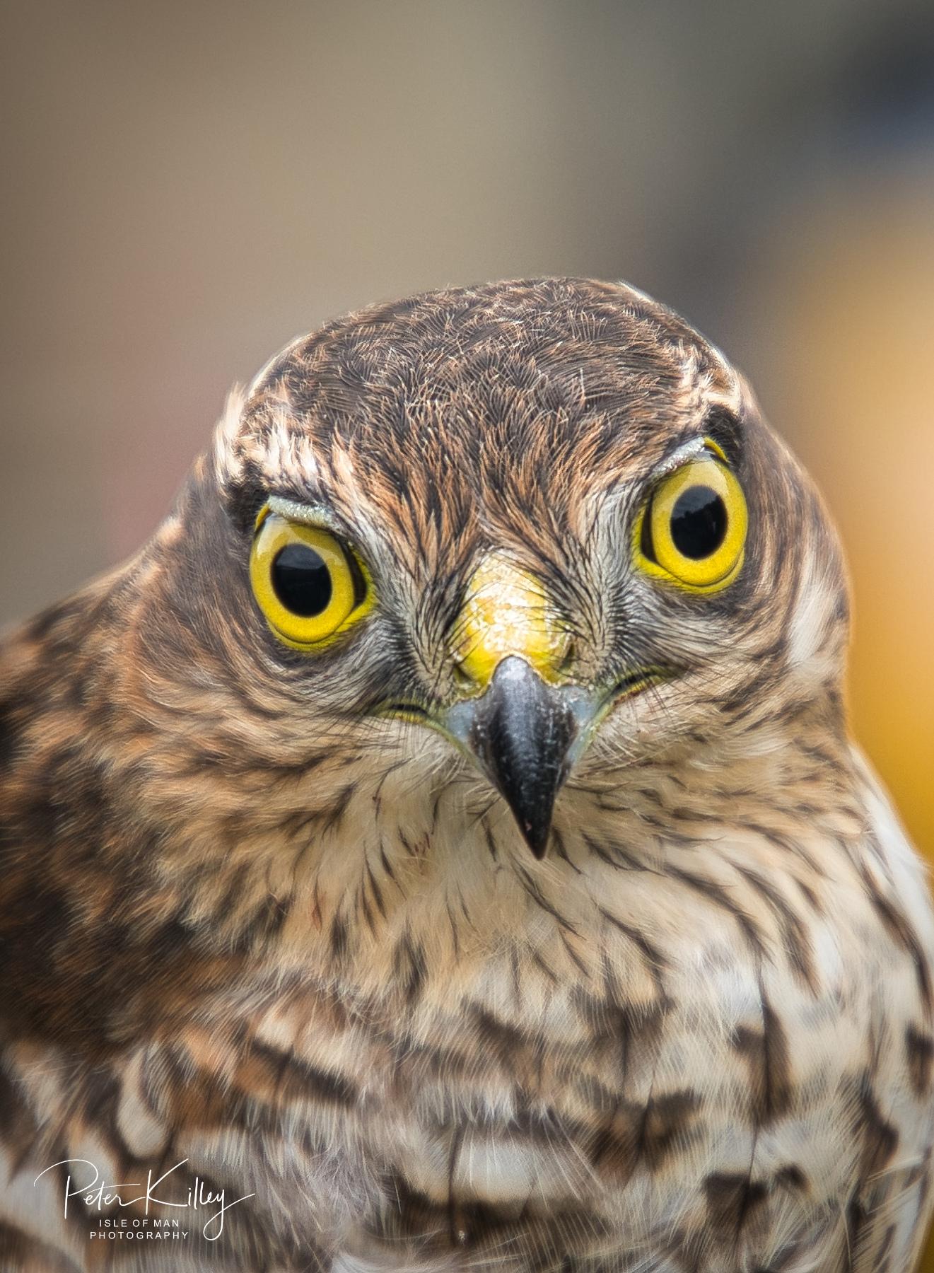 Juvenile Sparrowhawk - © Peter Killey - www.manxscenes.com