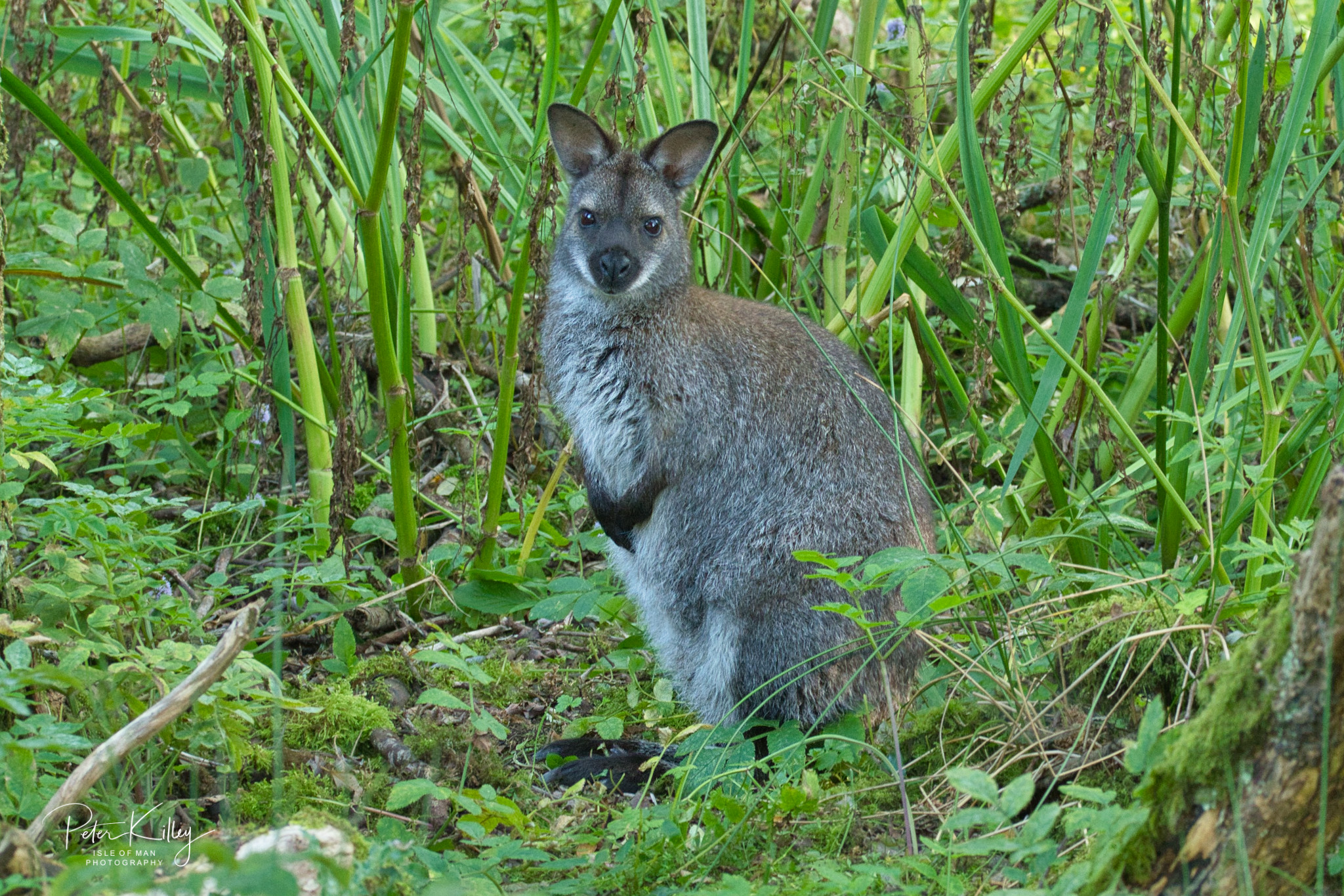 Wild Wallaby - Ballaugh - © Peter Killey - www.manxscenes.com