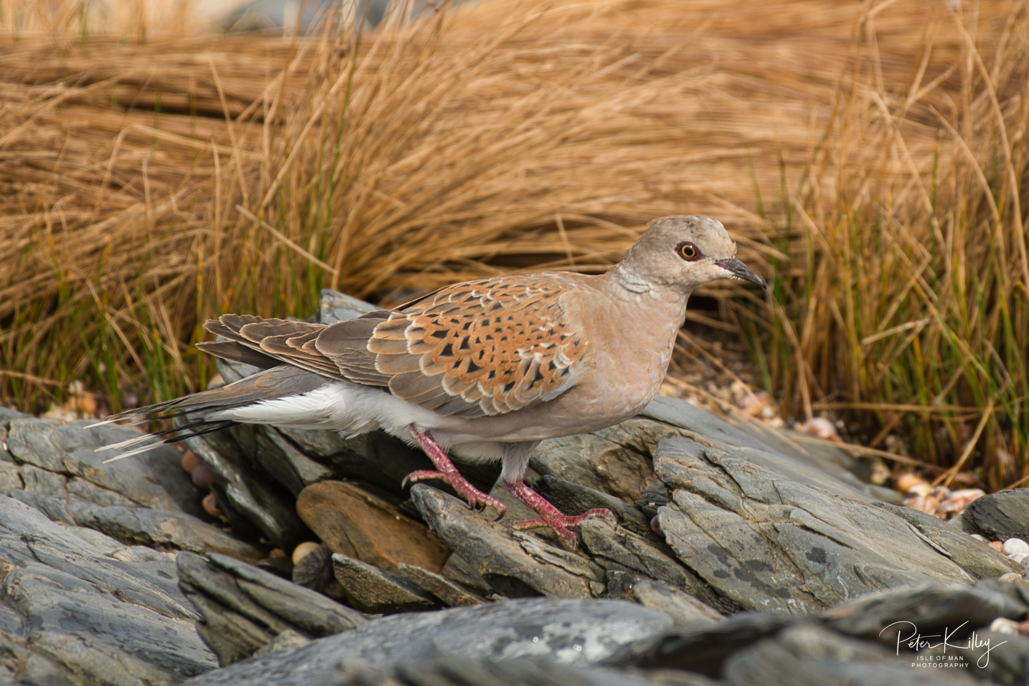 Turtle Dove, Isle of Man - © Peter Killey - www.manxscenes.com