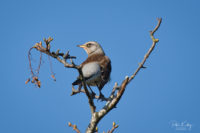 Fieldfare (Nov 19) - © Peter Killey - www.manxscenes.com