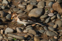 Snow Bunting - Point of Ayre - © Peter Killey - www.manxscenes.com