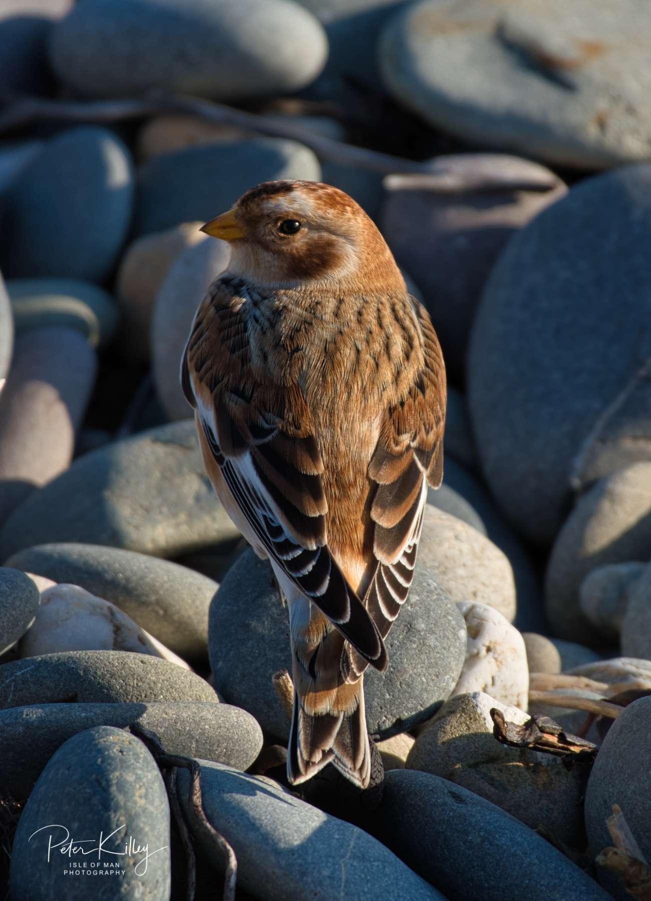 Snow Bunting - © Peter Killey - www.manxscenes.com