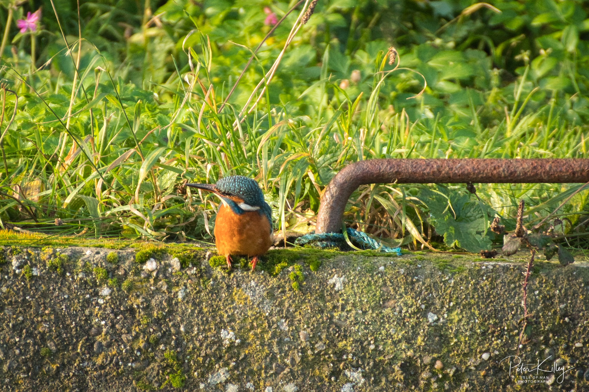 Female Kingfisher - © Peter Killey - www.manxscenes.com