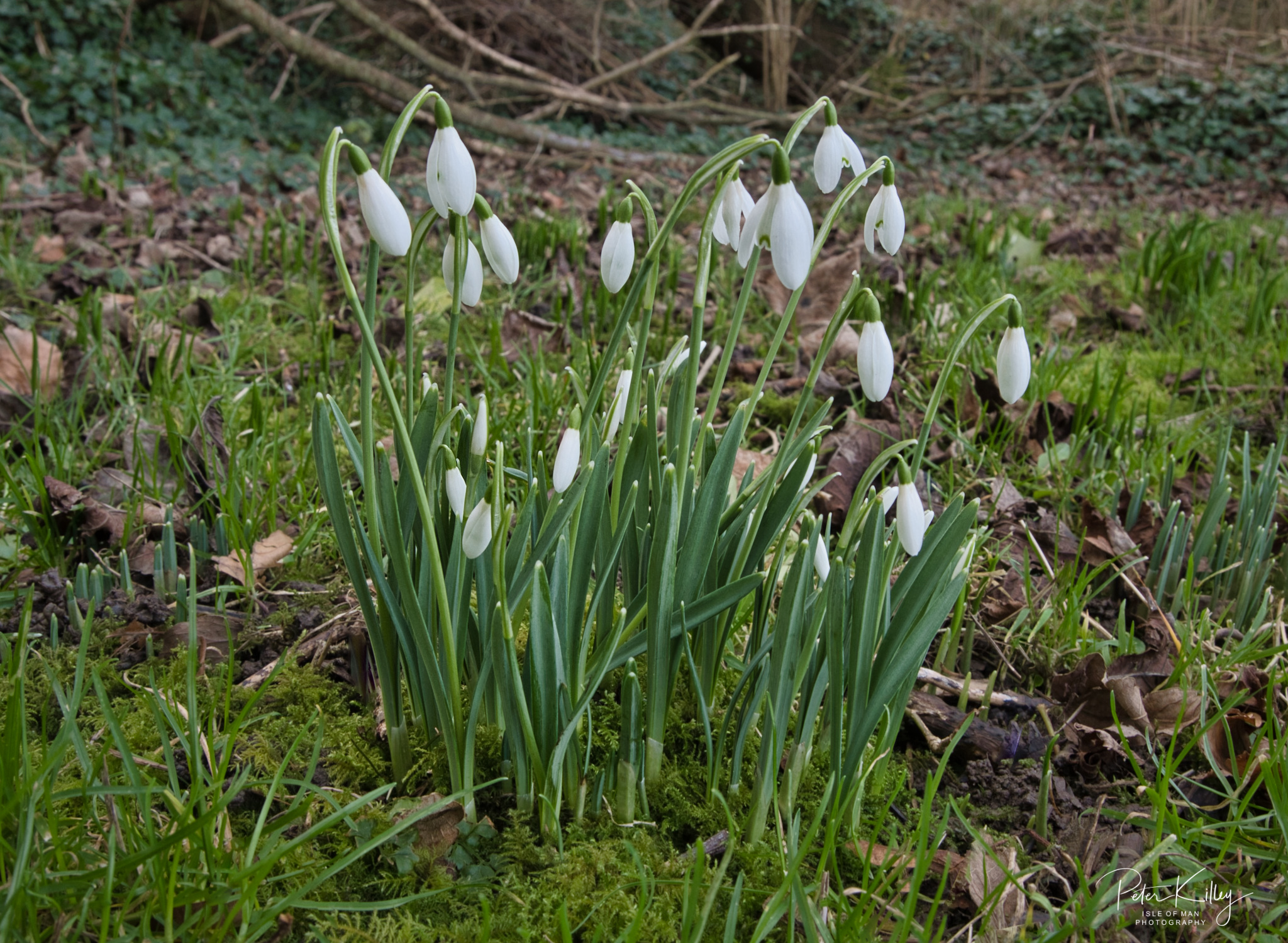 Snowdrops 4th Jan 20, Ballaugh - © Peter Killey - www.manxscenes.com