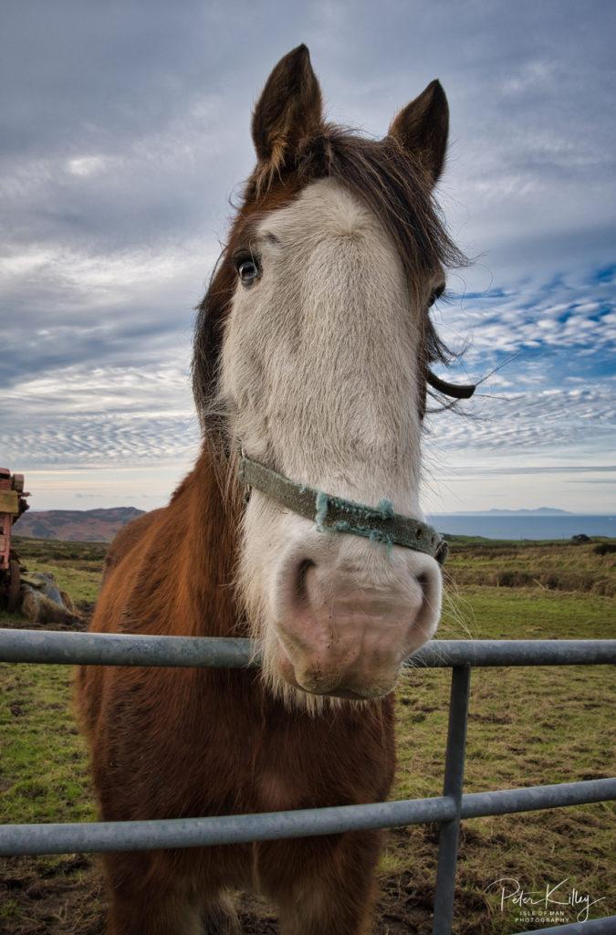Working Horse, Cregneash Farm - © Peter Killey - www.manxscenes.com