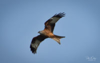 Red Kite Surby/Fleshwick - © Peter Killey - www.manxscenes.com