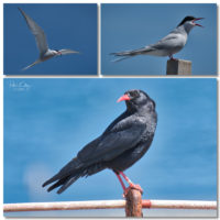 Artic Terns & Choughs - © Peter Killey - www.manxscenes.com