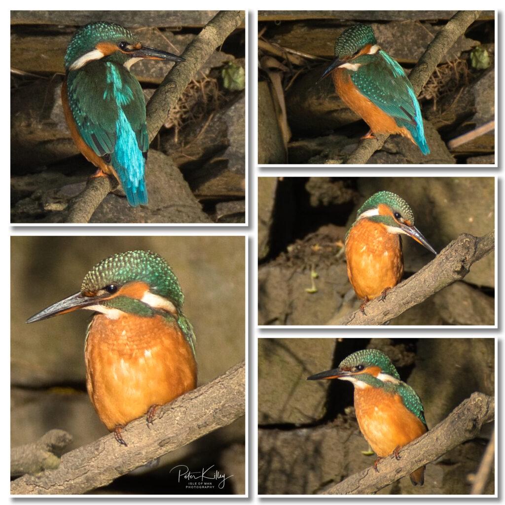 Kingfishers at Poyll Dooey in Ramsey