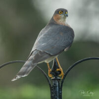 A Male Sparrowhawk - © Peter Killey - www.manxscenes.com