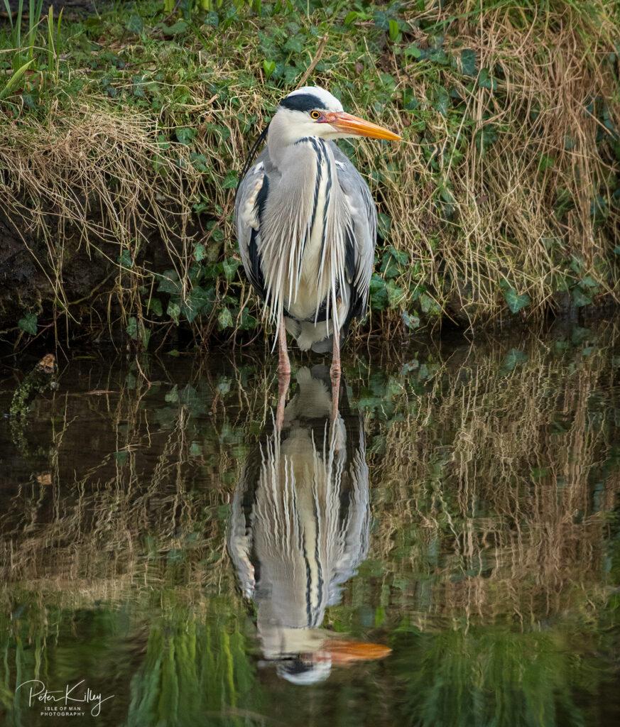 Grey Heron Silverdale - © Peter Killey - www.manxscenes.com