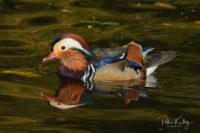 Mandarin Duck - Silverdale
